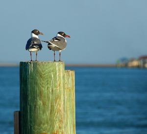 laughing-gulls-2071489_640